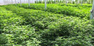 Canadian marijuana financier entering hemp industry in Nevada