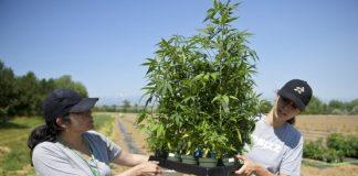 Former CU Regent Bob Sievers studying medicinal uses for hemp
